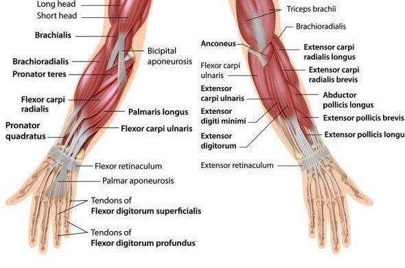 Anatomy of Your Grip Strength